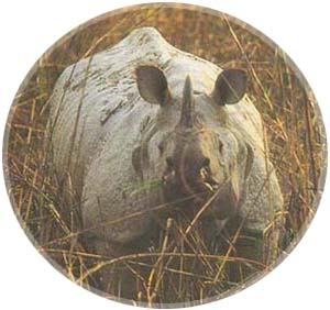 rare One-horned Rhinoceros of the Dooars Jungle